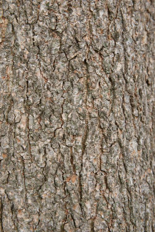 Elm tree bark texture background