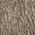Elm tree bark background background