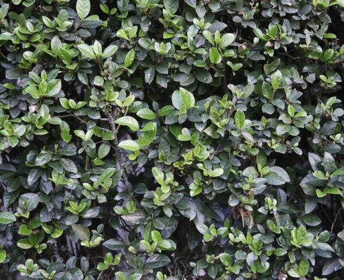 hedge plant background texture