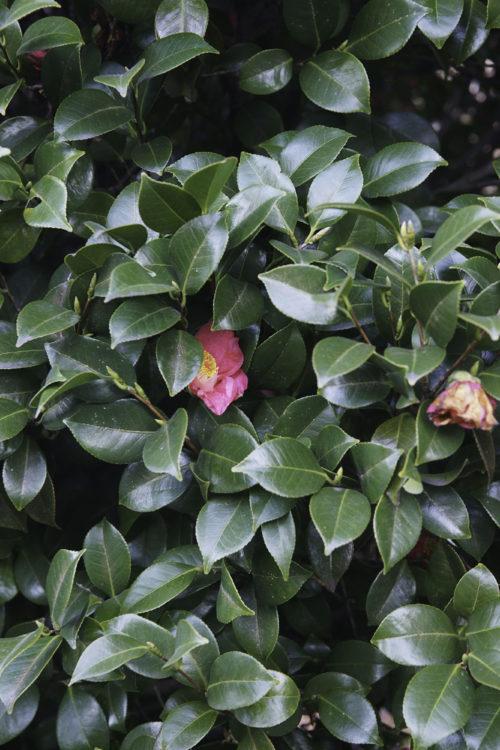 closeup of leafy green hedge plants