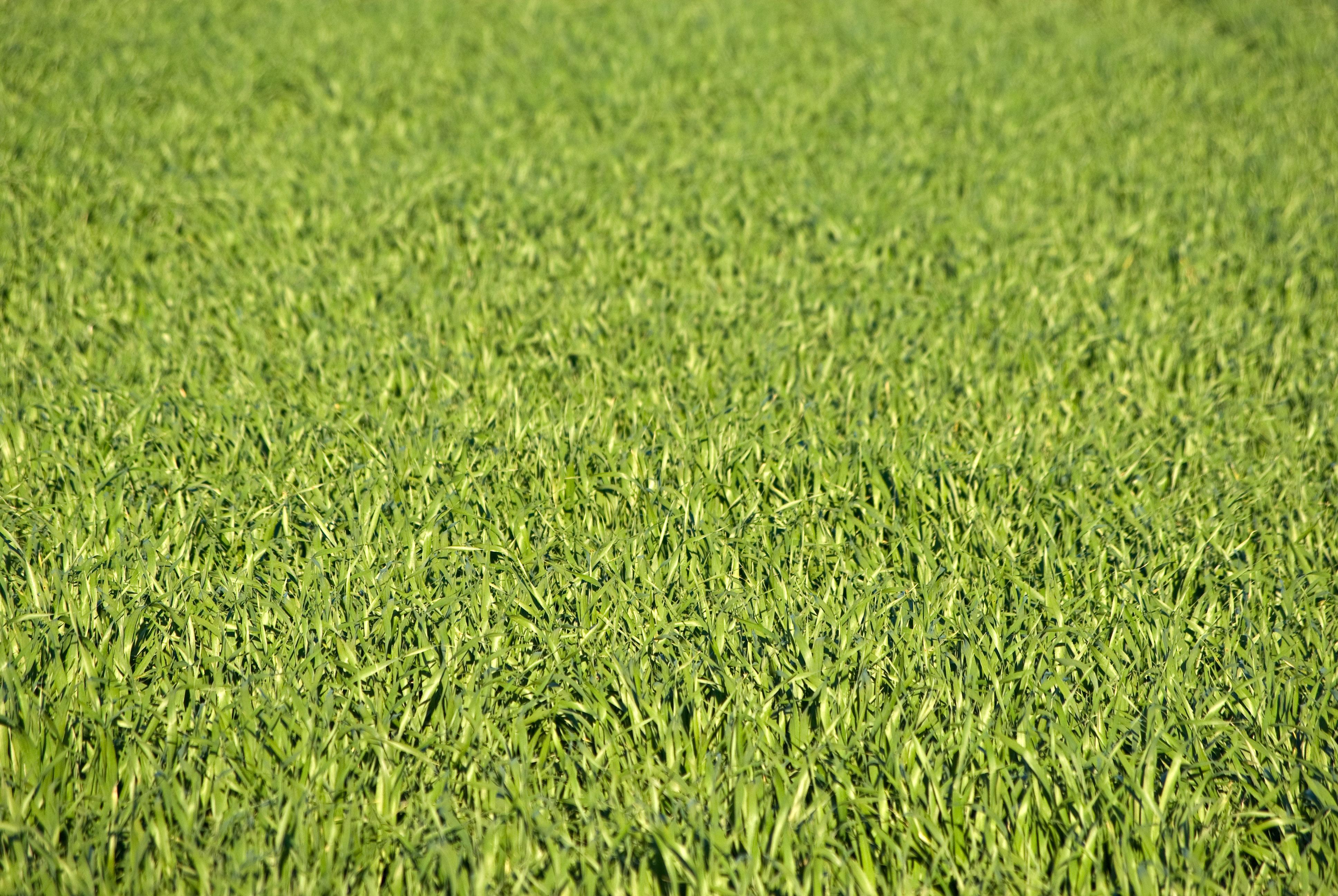 lush green grass texture