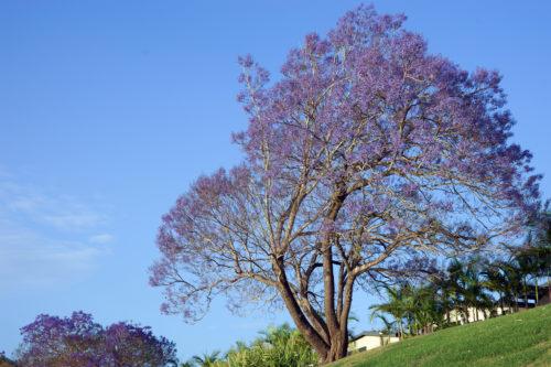 background image of a purple jacaranda tree