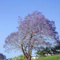 background image of a jacaranda tree