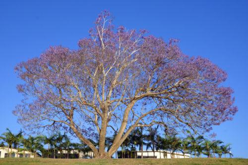 background photo of a jacaranda tree