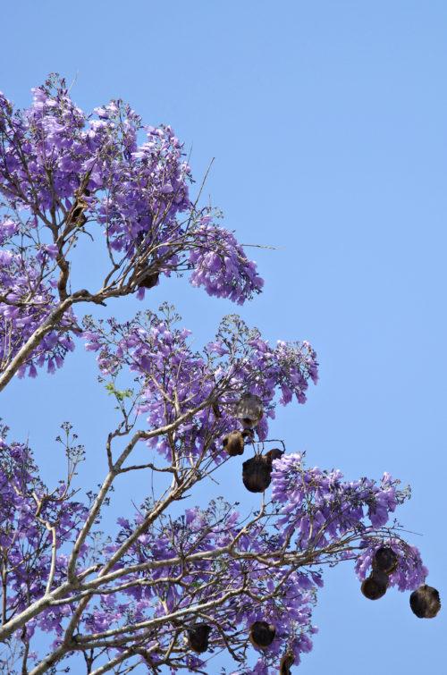purple jacaranda tree against a blue sky background photo