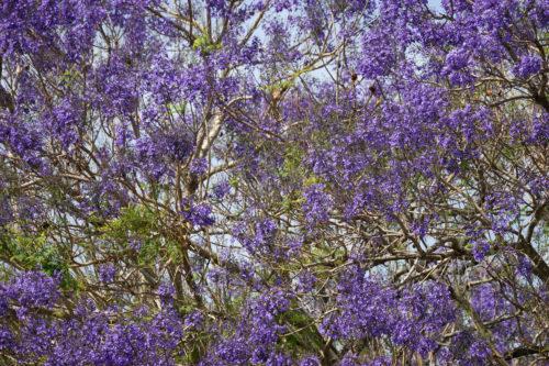 purple jacaranda background texture