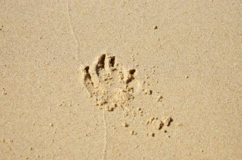 dog pawprint in sand