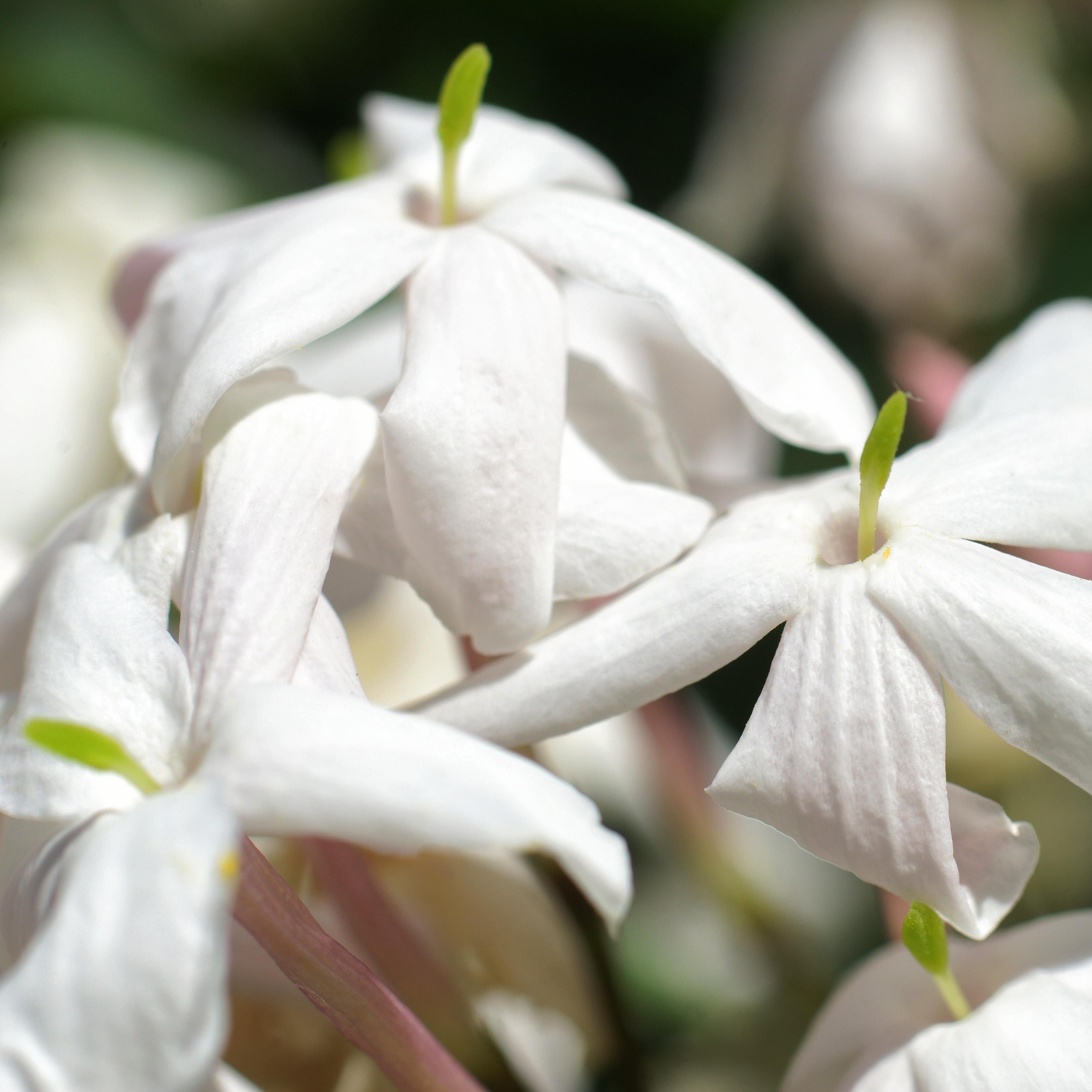 Two More Free Stock Photos Of White Jasmine Flowers