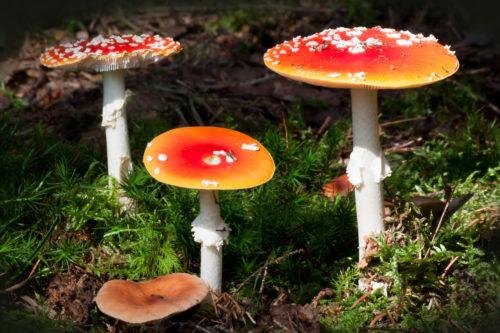 matryoshka mushroom image