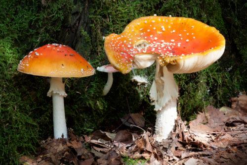 matryoshka mushroom wallpaper
