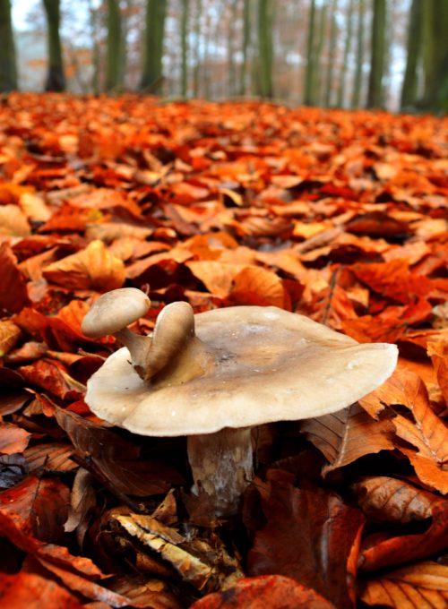 mushroom in red leaves