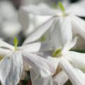 free stock photo of white jasmine flower background image