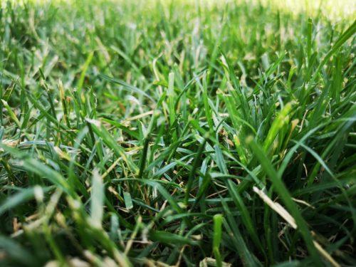 Green Grass Background Photo Closeup.