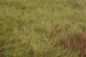 Gently Bent Autumn Wild Grass Background Texture