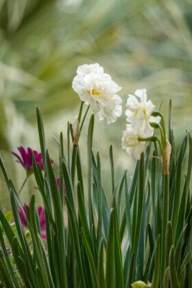 Free Daffodil Flower Photos